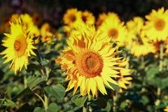 Słoneczniki R Na polu Zdjęcie Stock