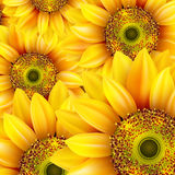 Słoneczniki, realistyczna ilustracja 10 eps Zdjęcia Royalty Free