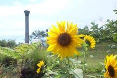 Słoneczniki w Bandung lesie zdjęcia royalty free