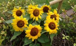 Słoneczniki w kwiacie Obrazy Stock