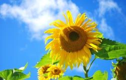 Słoneczniki w niebie Zdjęcia Royalty Free