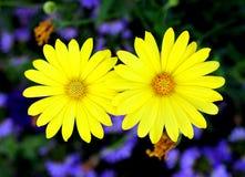 Słoneczniki w ogródzie Fotografia Stock