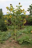Słoneczniki w ogródzie w DrÅ ¾ enice Fotografia Royalty Free