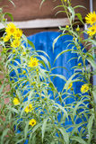 Słoneczniki w Santa Fe Obrazy Royalty Free