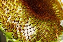 Słoneczniki z makro- Zdjęcia Stock