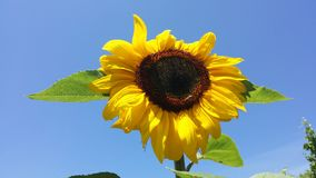 Słonecznikowa furora Zdjęcie Royalty Free