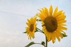 Słonecznikowa twarz niebo obraz royalty free