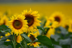 Słonecznikowa uprawa w Australia Zdjęcie Stock