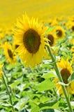 Słonecznikowa ziemia uprawna Fotografia Stock