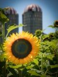 słonecznikowi frontowi silosy Obraz Stock