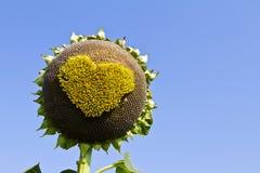 Słonecznikowi serca. Obrazy Royalty Free