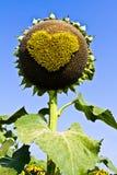 Słonecznikowi serca. Fotografia Stock