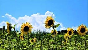 Słonecznikowi wartownicy horyzontalni obrazy royalty free