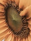 Słonecznikowy boczny widok obraz royalty free