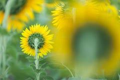Słonecznikowy clouse up Fotografia Stock