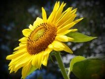 Słonecznikowy dojechanie W kierunku nieba Zdjęcia Royalty Free
