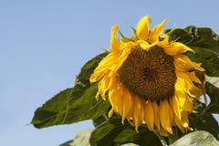 Słonecznikowy dojrzenie czas Obraz Royalty Free