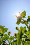 Słonecznikowy drzewo w ogródzie Fotografia Royalty Free