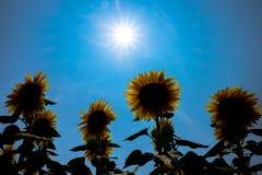 Słonecznikowy Japonia Obrazy Stock