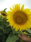 Słonecznikowy kwiat zdjęcia stock
