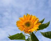 Słonecznikowy kwiat Zdjęcia Royalty Free