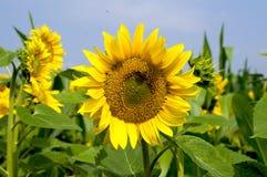 Słonecznikowy kwiat przeciw niebieskiemu niebu Zdjęcia Stock