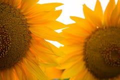 Słonecznikowy kwiat przy zmierzchem Obraz Stock