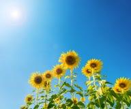 słonecznikowy kwitnienie na gospodarstwie rolnym Obraz Stock