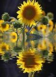 Słonecznikowy odbicie Zdjęcia Royalty Free