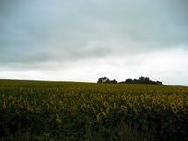 Słonecznikowy pola i ponuractwa niebo zdjęcia stock