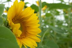Słonecznikowy ` s boczny widok z raindrops Zdjęcie Royalty Free
