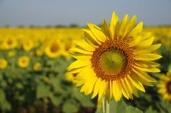 słonecznikowy Thailand Zdjęcia Stock