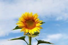 Słonecznikowy w polu samotnie Zdjęcia Royalty Free