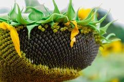 Słonecznikowy ziarno Obrazy Royalty Free