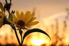 Słonecznikowy zmierzch Obraz Stock