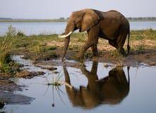 Słoni stojaki obok Zambezi rzeki z odbiciem w wodzie Zambiowie Niski Zambezi park narodowy Zambezi rzeka Obrazy Stock