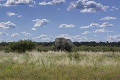 Słonia byk w Etosha niecce Fotografia Royalty Free