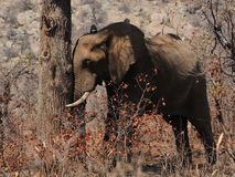 słonia dosypianie Zdjęcia Royalty Free