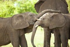 Słonia dziecko Zdjęcia Royalty Free
