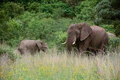 Słonia dziecko i matka Zdjęcie Royalty Free