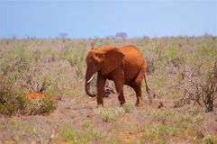Słonia dziecko w Afryka Tsavo parku narodowym Zdjęcie Stock