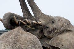 Słonia Elephantidae zdjęcia stock