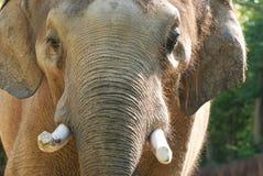 słonia gapienie Obraz Royalty Free