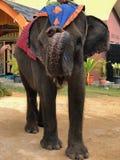 Słonia indonezyjczyk obraz stock
