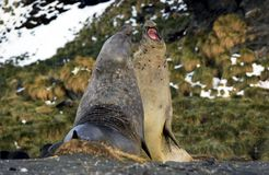 słonia morze Obrazy Stock