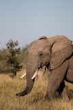 Słonia odprowadzenie przez pola w Kruger parku narodowym Obrazy Stock