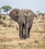Słonia odprowadzenie w kierunku kamery Fotografia Stock