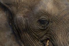 Słonia oka fotografia Obraz Stock