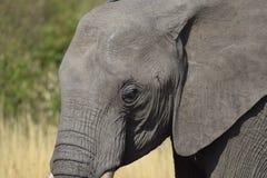 Słonia oko Fotografia Stock