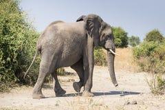 Słonia omijanie Obrazy Stock